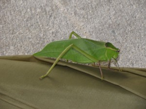 leaf-bug-at-sotc