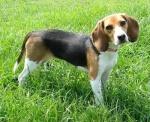 BeagleBayleePurebredDogs8Months1