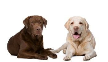 Two Labrador dogs